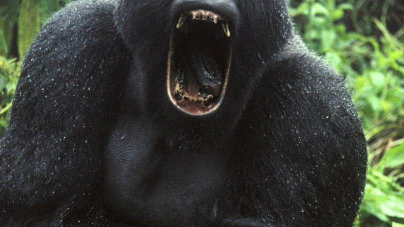 The Beaman Monster – Escaped circus gorilla mates with local Bigfoot